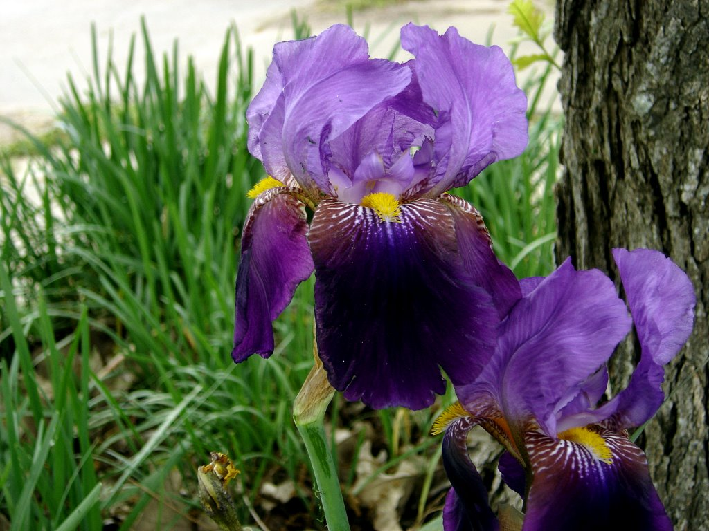 Iris x germanica bearded iris piony - Iris germanica ...